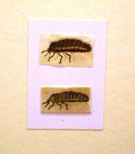 Aquarelle chinois insectes c1840