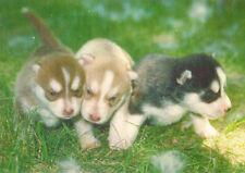 Polarhund * Schlittenhund * Husky * Malamute * DOG * Postkarte  Postcard  # 33