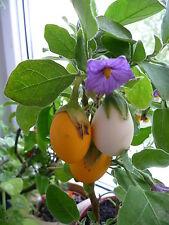 """weiße  AUBERGINE Eierpflanze, """"Dourga"""" Eierfrucht,  solanum melongena, Zimmer"""
