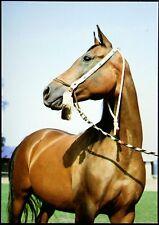 Pferde AK Postkarte - Polen - Gestüt Janów Podlaski - Elewacja - Brauner Araber