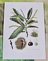 Affiche scolaire Planche Ancienne Botanique Châtaignier N°32. (FL1) art print