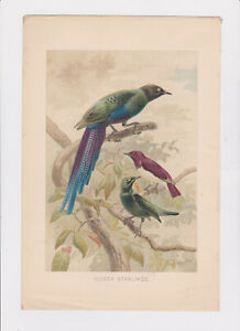 Colour Lithograph (book plate) of Glossy Starlings by P J Smit - 1876?
