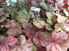 Heuchera PINOT GRIS ginger rose purple silver coral bells shade perennial plant