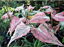 Colocasia Elephant Ear Bulbs Caladium Plant Perennial Tropical Esculenta Bicolor