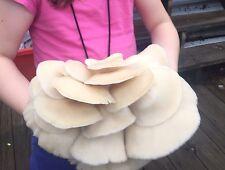 10cc White Oyster Mushroom (Pleurotus ostreatus) Liquid Culture Spawn Syringe