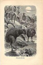 Stampa antica UCCELLI KIWI Apteryx Nuova Zelanda 1891 Old antique print