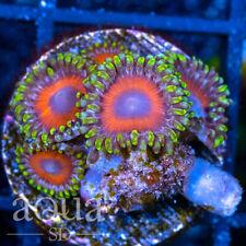 New listing Asd - 0 00006000 75 Warriors Shields Zoanthids - Wysiwyg - Aqua Sd Live Coral Frag
