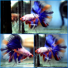 New listing Live Betta Fish Fancy Dragon Blue Marble Nemo Rosetail Hm Male C207