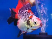 1 X Ryukin Short Tail 4 Inch Gold Fish Live Fish Aquariums Pet Supplies