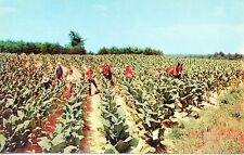 Harvesting Tobacco Workers In The Fields Pull Bottom Leaves 1960 VintagePostcard