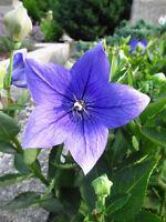 schöne blaue Sterne: die wunderbare Blütenform der schönen BALLONBLUME