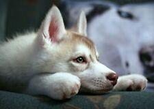 Polarhund * Schlittenhund * Husky * Malamute *  Dog  * Postkarte  Postcard  # 20