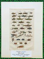 XVII ème  Jonston & Merian Superbe Gravure de Sauterelles Crickets Pl XII 1657