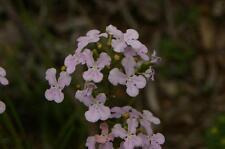Queen Triggerplant  (Stylidium affine) 25 seeds