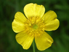 Meadow buttercup   Ranunculus acris   Organic   20 Seeds    (Free Shipping)