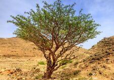 10 Graines de Boswellia serrata, Indian frankincense tree seeds