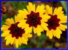 Plains Coreopsis! 50 seeds! Bright Color!  Zone 3-10  Re-seeds! Comb.S/H