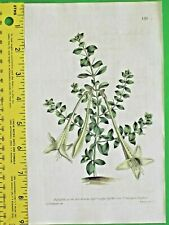 Lily-Thorn,Catesbaea spinosa,Early Curtis hand col.Eng.1790 #131