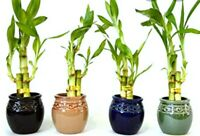 "Lucky Bamboo * 5 Rooted Stalks 4"" long  (Water Plant as Gift & Feng Shui)"