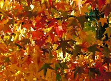 9 Semillas  - Liquidambar Styraciflua - Árbol - Samen Semi