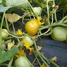 ☺20 graines rares de concombre citron.
