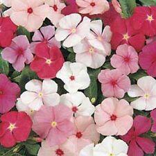 Vinca- Periwinkle- Mixed colors- 50 Seeds- BOGO 50% off SALE