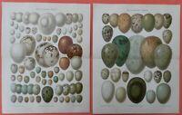 Eier europäischer Vögel Vogel  Ornithologie  2 x LITHOGRAPHIE 1899  Oologie