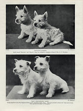 WESTIE WEST HIGHLAND WHITE TERRIER CHARMING IMAGES OF PUPPIES OLD 1934 DOG PRINT