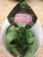 Hoya Carnosa Compacta healthy unrooted cutting  porcelain flower or wax plant