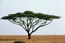 11 Graines Umbrella Thorn Acacia tortilis seeds