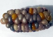 Corn Blue-Pink Gem Stone - A Rare, Unique & Stunning Glass Gem Corn Variety!!!