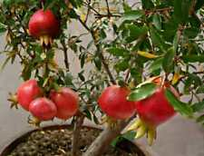 Dwarf Pomegranate *Dwarf Bonsai Punica Granatum Nana*edible,sweet *6 fresh seeds