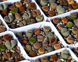 Plant - Lithops Pot full 16 plants Colourful!