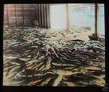 Glass Magic Lantern Slide CATCH OF SALMON NEAR WESTMINSTER C1900 CANADA