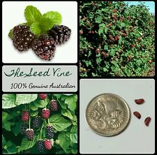 20+ ORGANIC BOYSENBERRY SEEDS (Rubus ursinus x idaeus) Edible Fruit Berry Shrub