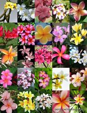 PLUMERIA MIX, Frangipani exotic fragrant flowers islands succulent seed 10 seeds