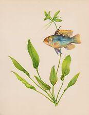 Vintage Tropical Aquarium FISH Print Collectible Ramirez Cichlid Fish Print 2280
