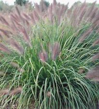 """3 Red Head Fountain Grass in 6"""" pots -Live Plants  Deer Resistant"""
