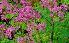Thalictrum Black Stockings Meadow rue Bee pollinator Tall Hardy perennial plant