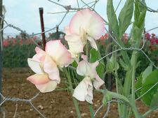 Sweet Pea - Claire Elizabeth - 25 Seeds