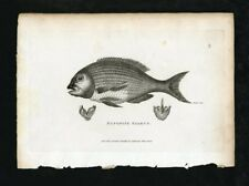 Shaw's General Zoology - Original 19th c.  Engraving - Bufonite Sparus