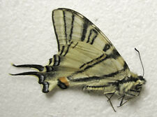 Iphiclides podalirius podalirius, male, spring generation, A1+ quality (Russia)