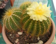 Blue Ball Cactus Seed Parodia magnifica 30 cm High Clusters Multi Yellow Flowers
