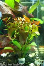Ludwigia peruensis 'diamond'- Live Aquarium Plants Java Moss CO2 ADA Aquascaping