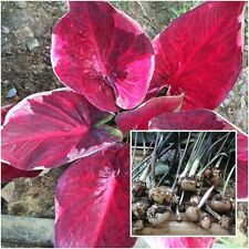 Caladium 1 Bulb Queen of the Leafy Plants ''Daranoppharat'' Colourful Tropical