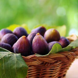 Beer's Black Fig Tree Live Plant (Dwarf Habit) - Ficus carica