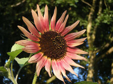 FLOWER SUNFLOWER INDIAN BLANKET 40 FINEST SEEDS
