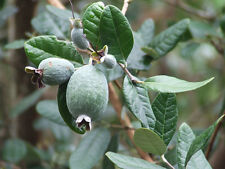 guava's STRAWBERRY Feijoa Fruit Delicious 10 seeds seeds seeds