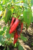 Sweet Pepper Seeds Ox Ear red green pepper organic non gmo Ukraine 20 seeds D