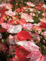 1/2 oz Mixed Poppy Seeds, Double Shirley, Heirloom Poppies, Bulk Seeds 100,000ct